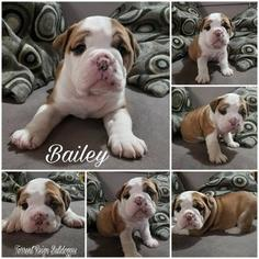 Olde English Bulldogge Puppy For Sale in OLALLA, WA, USA