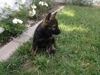 German Shepherd Dog Puppy For Sale in ESCONDIDO, CA
