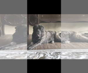 Mastiff Puppy for sale in CIRCLEVILLE, OH, USA