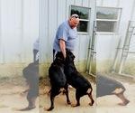 Small #101 Rottweiler