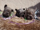 French Bulldog Puppy For Sale in DINUBA, CA, USA