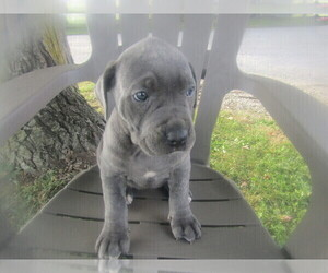Cane Corso Puppy for sale in BLMGTN, IN, USA