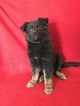 German Shepherd Dog Puppy For Sale in ELIZABETH, CO, USA
