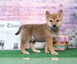 Shiba Inu Puppy for sale in BEL AIR, MD, USA