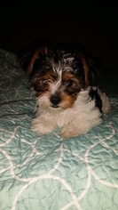 Yorkshire Terrier Puppy For Sale in ELGIN, TX
