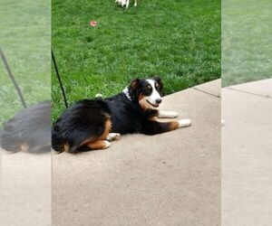 Australian Shepherd Puppy for Sale in OMAHA, Nebraska USA