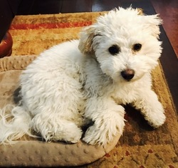 Goldendoodle Puppy For Sale in ALISO VIEJO, CA, USA