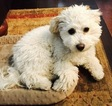 Goldendoodle Puppy For Sale in ALISO VIEJO, CA, USA