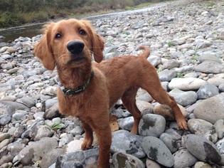 Golden Retriever Puppy For Sale in BATTLE GROUND, WA