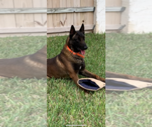 Father of the Belgian Malinois puppies born on 01/17/2021