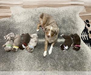 Australian Shepherd Puppy for sale in GILBERT, AZ, USA