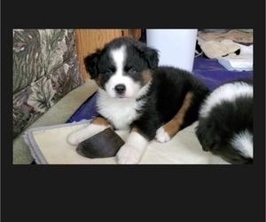 Miniature Australian Shepherd Puppy for sale in STONE LAKE, WI, USA