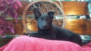 German Shepherd Dog Puppy For Sale in FORDLAND, MO, USA