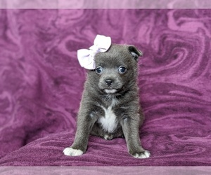 Chiranian Puppy for sale in NEW FREEDOM, PA, USA