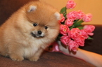Pomeranian Puppy For Sale in NEW YORK, NY
