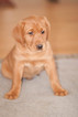 Labrador Retriever Puppy For Sale in UPPERCO, MD,