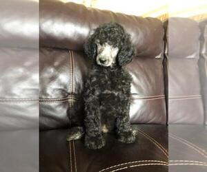 Poodle (Standard) Puppy for Sale in FINLAYSON, Minnesota USA