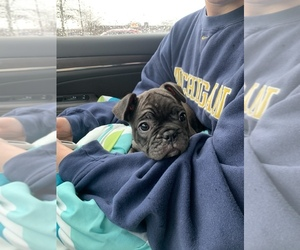 French Bulldog Puppy for sale in UNIVERSITY OF NC, NC, USA