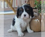 Small Photo #4 Cavalier King Charles Spaniel Puppy For Sale in LANCASTER, PA, USA