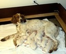 English Setter Puppy For Sale in MOSCOW, ID, USA