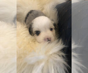 Australian Shepherd Puppy for sale in MOUNT VERNON, IA, USA
