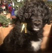 Aussiedoodle Puppy For Sale in ARBA, IN, USA