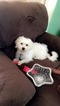 Maltese Puppy For Sale in BEULAVILLE, NC, USA