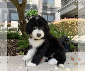 Bernedoodle Puppy for Sale in HOUSTON, Texas USA