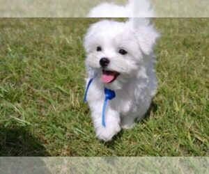 Father of the Maltese puppies born on 01/08/2021
