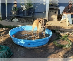 Malinois Dog for Adoption in ORCHARDS, Washington USA
