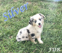 Miniature Australian Shepherd Puppy For Sale in FORESTBURG, TX