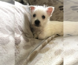 West Highland White Terrier Puppy for sale in BUELL, MO, USA