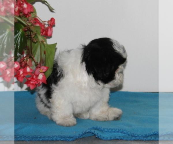 Medium Photo #2 Zuchon Puppy For Sale in QUARRYVILLE, PA, USA