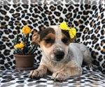 Small #3 Australian Cattle Dog-Jack Russell Terrier Mix