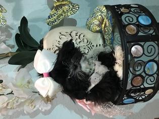 Shih Tzu Puppy For Sale in BELLEVIEW, FL, USA