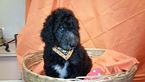 Poodle (Standard) Puppy For Sale in HAMILTON, OH, USA