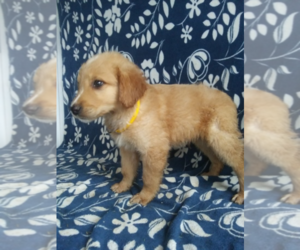 Goldendoodle Puppy for sale in TERRE HAUTE, IN, USA