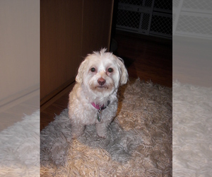Coton de Tulear Dog for Adoption in SNOHOMISH, Washington USA