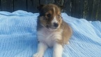 Shetland Sheepdog Puppy For Sale in FREDERICKSBURG, OH, USA