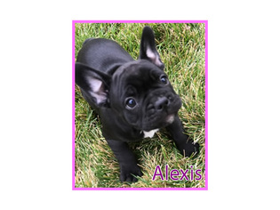 French Bulldog Puppy For Sale in CLARKSTON, UT