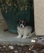 Shih Tzu-Yorkie-Poo Mix Puppy For Sale in PASO ROBLES, CA, USA