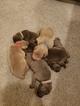 Weimaraner Puppy For Sale in AM FORK, UT, USA