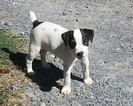 Jack Russell Terrier Puppy For Sale in FAIRMOUNT, GA