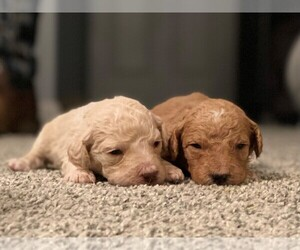 Goldendoodle Puppy for Sale in BARNESVILLE, Georgia USA