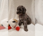 Small #14 Goldendoodle-Sheepadoodle Mix