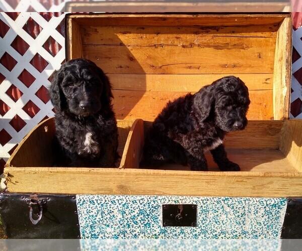 Medium Photo #2 Goldendoodle Puppy For Sale in VERGENNES, IL, USA