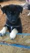 Puppy 4 German Shepherd Dog-Unknown Mix