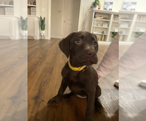 Labrador Retriever Puppy for sale in GOSHEN, IN, USA