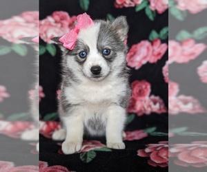 Pomsky Puppy for sale in EPHRATA, PA, USA