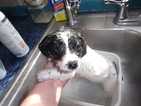 Small #7 Jack Russell Terrier-Poodle (Standard) Mix